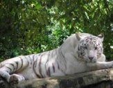 White Tiger in Mysore Zoo